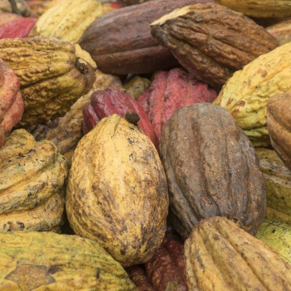 Kakao är den dyraste ingrediensen i choklad.