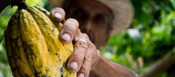 Kakaobönor skördas för hand innan de används till att göra choklad.